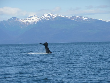 whale in Icy Strait 1