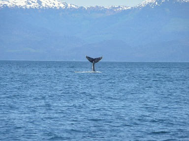 whale in Icy Strait 2