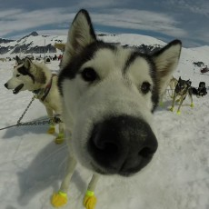 Juneau Dog Sled Experience