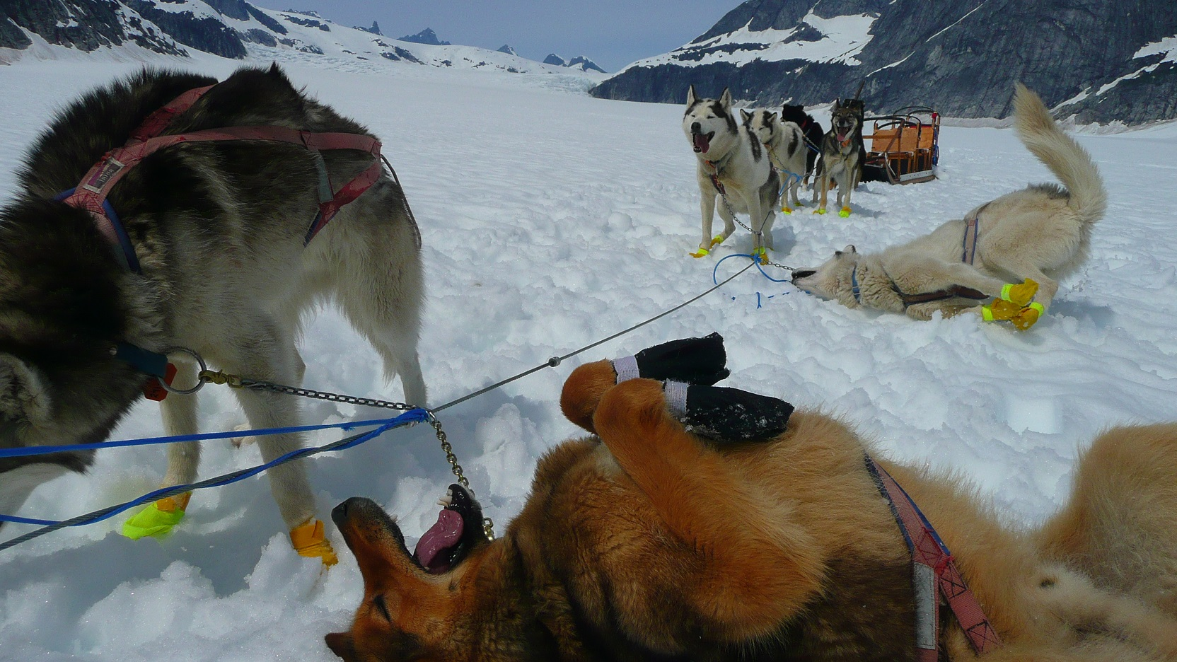 dogsledding on Norris Glacier, dogs cooling off