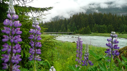 Lupins by Chilkoot River Alaska
